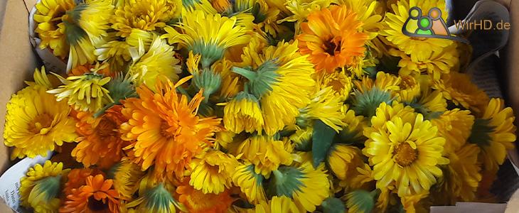 Ringelblumen, Blüten, Frische Ernte.