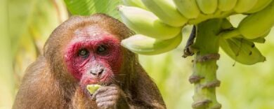 Bananen für Affen, lecker, Banana, Äffchen, essen Affen Bananen?